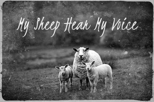 my-sheep-hear-my-voice_01